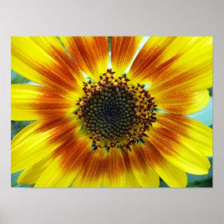 Beautiful orange-yellow sunflower poster