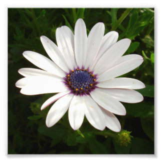 Beautiful Osteospermum White Daisy Photo Print