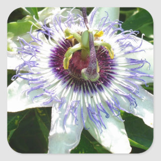 Beautiful Passion Flower With Garden Background Square Sticker
