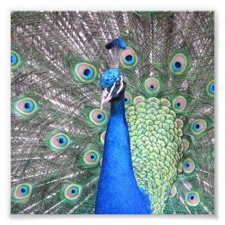 Beautiful Peacock photo