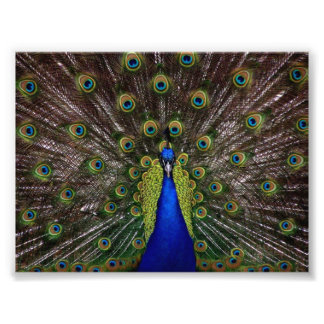 Beautiful Peacock Photo Print