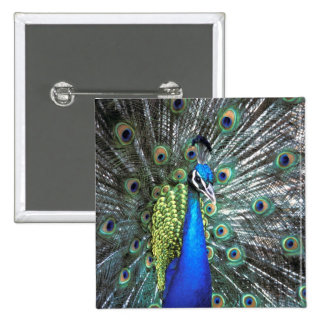 Beautiful peacock spreading colorful feathers 15 cm square badge
