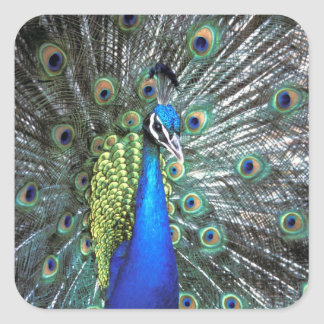 Beautiful peacock spreading colorful feathers stickers