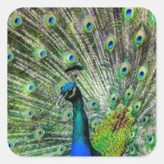 Beautiful Peacock Square Sticker