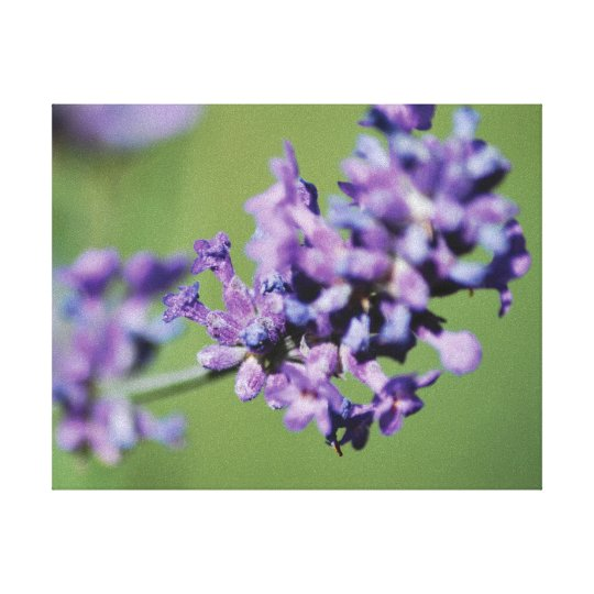 Beautiful photo purple lavender flowers canvas print