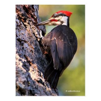 Beautiful Pileated Woodpecker on the Tree Postcard