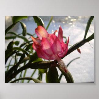 Beautiful Pink Christmas Cactus Flower Poster