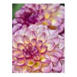 Beautiful pink dahlia flowers postcards