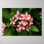 Beautiful pink Plumeria flower Posters