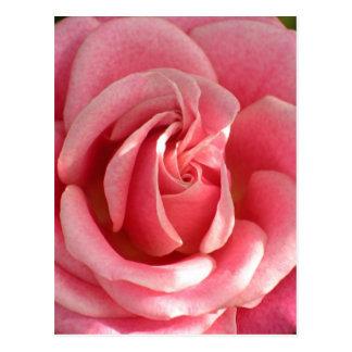 Beautiful pink rose bloom postcard