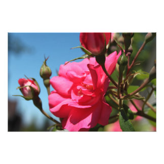 beautiful pink rose flower and buds blue sky photo print