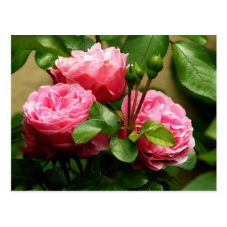 Beautiful pink roses post cards