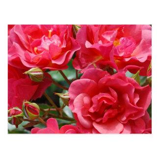 Beautiful pink roses print postcard