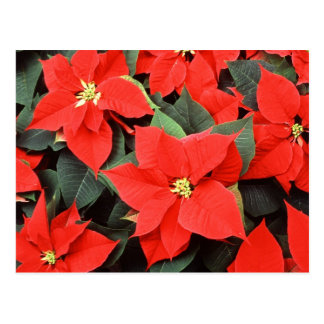 Beautiful Poinsettias Postcard