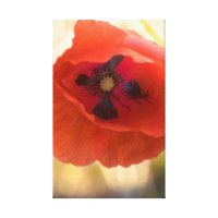 Beautiful poppy Canvas Print