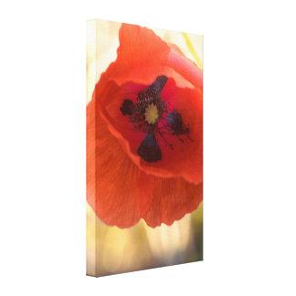 Beautiful poppy canvas print