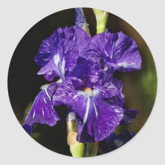 Beautiful Purple Bearded Iris in the Afternoon Sun Round Sticker