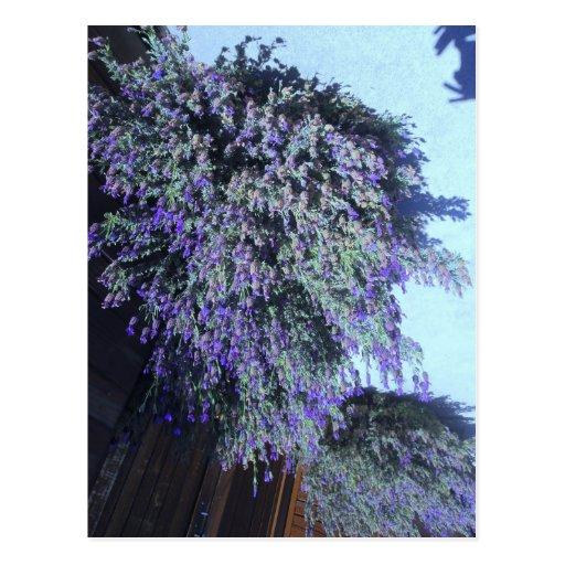 Beautiful Purple Blooming Shrub Postcard