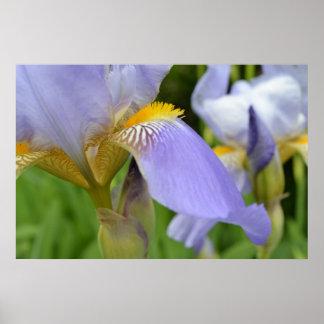 Beautiful Purple Iris Poster