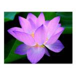 Beautiful purple lotus flower in water postcard