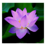 Beautiful purple lotus flower in water poster