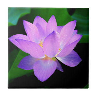 Beautiful purple lotus flower in water small square tile