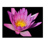 Beautiful purple water lily #200Nw  200 Post Cards
