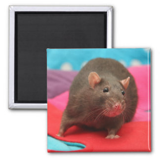 Beautiful rat on colorful blanket magnet