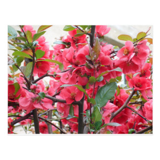 Beautiful Red Japanese Quince Postcard