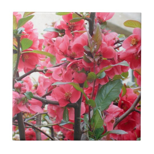 Beautiful Red Japanese Quince Tile