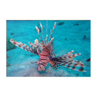 Beautiful Red Lion Fish Acrylic Print