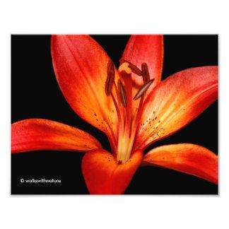 Beautiful Red Orange Asiatic Lily Gran Paradiso Photograph