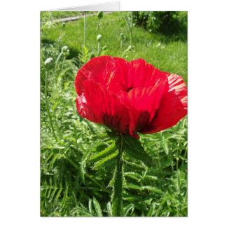 Beautiful Red Poppy Greeting Cards