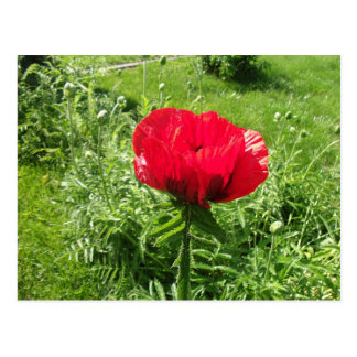 Beautiful Red Poppy Post Card