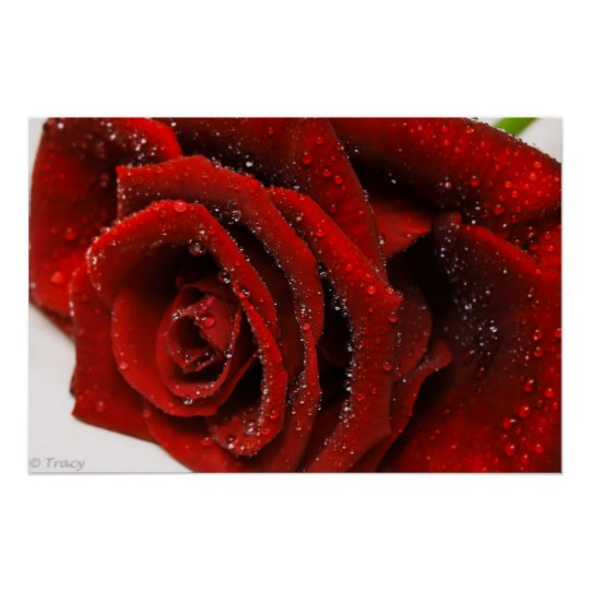Beautiful Red Rose Poster