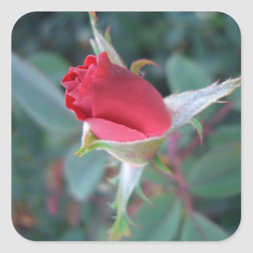 Beautiful Red Rosebud CricketDiane Roses Square Stickers