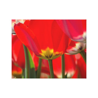 Beautiful red Tulips,Blossoms,Garden,flower bunch Stretched Canvas Prints