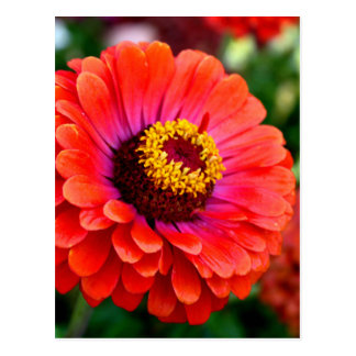 Beautiful Red Zinnia Flower Design Postcard