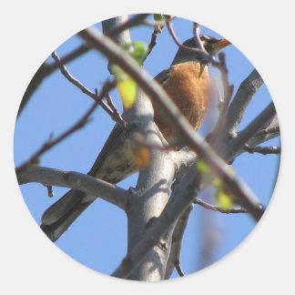Beautiful Robin in the Tree Classic Round Sticker