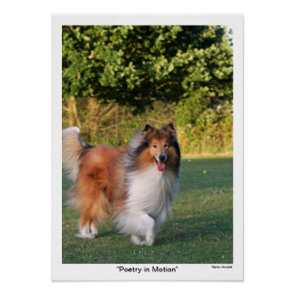 Beautiful Rough Collie dog photo poster, print
