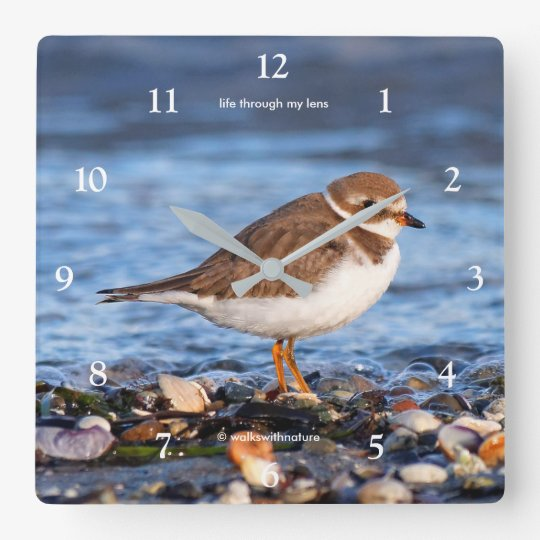 Beautiful Semipalmated Plover at the Beach Square Wall