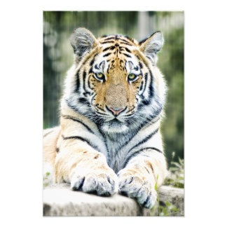 Beautiful siberian tiger lying down photo print