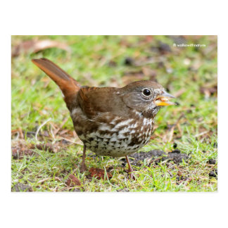 Beautiful Sooty Fox Sparrow on the Grass Postcard