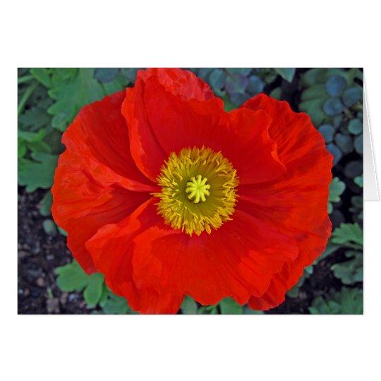 beautiful spring poppy in australia card