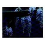 Beautiful Strange Blue Lavender Wisteria Night Post Cards