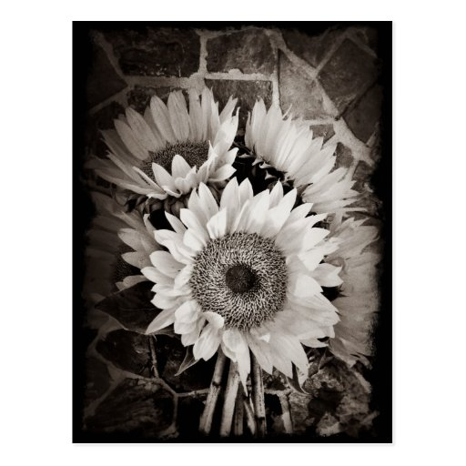 Beautiful Sunflower Bouquet Photo in Black & White Post Cards