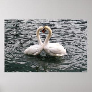 Beautiful swan pair poster