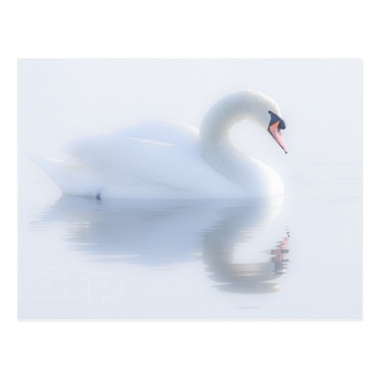 Beautiful Swan Postcard