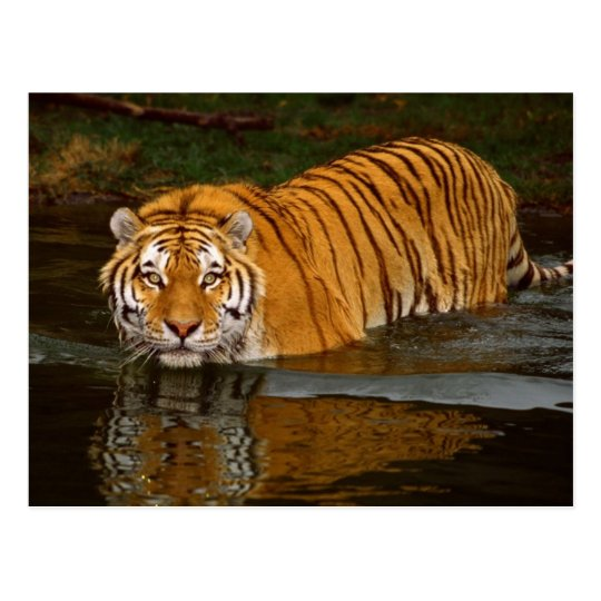 Beautiful Tiger Photo Tees, GIfts - Customise Postcard