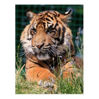 Beautiful Tiger Postcard